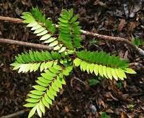 eurycoma-longifolia